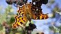 Comma butterfly (10207665866).jpg
