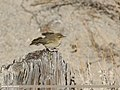 Common Chiffchaff (Phylloscopus collybita) (26848266929).jpg