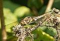 Common Darter, female. Sympetrum striolatum (37144585095).jpg