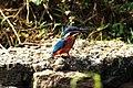 Common Kingfisher (നീലപ്പൊന്മാൻ) (13033543554).jpg