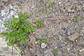 Common Silverweed (Argentina anserina) - Lark Harbour, Newfoundland 2019-08-18 (03).jpg