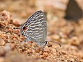 Common cerulean IMG 3520.jpg