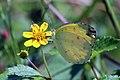 Common grass yellow (Eurema hecabe stankapura) bali I.jpg