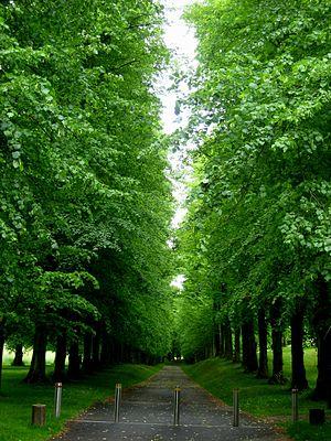 Tilia × europaea - Avenue of common limes, Hampshire, UK.