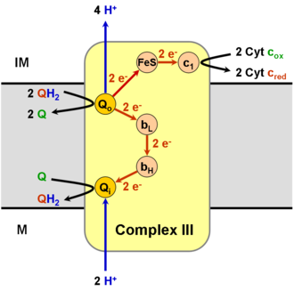 Q cycle - Schematic representation of complex III of the electron transport chain. The grey area is the inner mitochondrial membrane. Q represents the ubiquinone form of CoQ10, and QH2 represents the ubiquinol (dihydroxyquinone) form.