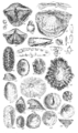 Conchological Manual Plate 12.png
