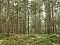 Conifer plantation, Roydon Woods, New Forest - geograph.org.uk - 62568.jpg