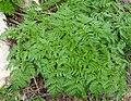 Conium maculatum plant (01).jpg