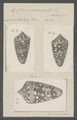 Conus ammiralis - - Print - Iconographia Zoologica - Special Collections University of Amsterdam - UBAINV0274 086 07 0007.tif
