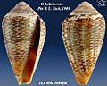 Conus belairensis 1.jpg