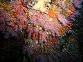 Corallium rubrum (Portofino, Colombara).jpg