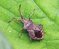 Coreus marginatus, Dock Bug.jpg