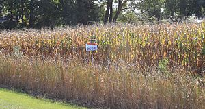 DeKalb Genetics Corporation - Corn field planted with DeKalb DKC 53-45 seed
