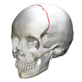 Coronal suture - skull - anterior view03.png