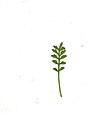 Coronopus didymum leaf (08).jpg