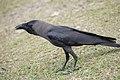 Corvus splendens insolens @ Kuala Lumpur.jpg