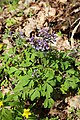 Corydalis solida = C. halleri (Fumariaceae) (34280736901).jpg
