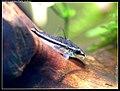 Corydoras pygmaeus carnat joel 5.jpg