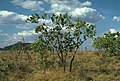 Corymbia abbreviata.jpg
