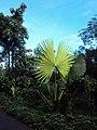Corypha umbraculifera 11.JPG