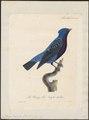 Cotinga caerulea - 1825-1834 - Print - Iconographia Zoologica - Special Collections University of Amsterdam - UBA01 IZ16600057.tif