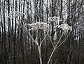 Cow parsley with frost 2.jpg