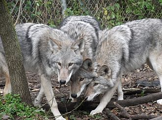 Canid hybrid - Captive-bred F<sub>1</sub> gray wolf-coyote hybrids, Wildlife Science Center in Forest Lake, Minnesota