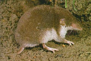 Bicolored shrew species of mammal
