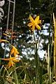 Crocosmia x crocosmiiflora Norwich Canary 3zz.jpg