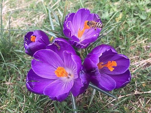 Crocus vernus with bee