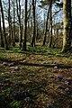 Crocuses on Dial Hill - geograph.org.uk - 1760268.jpg