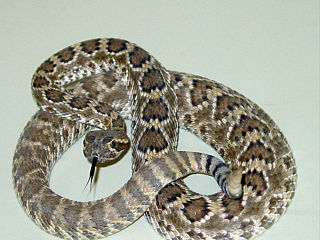 <i>Crotalus scutulatus</i> species of reptile