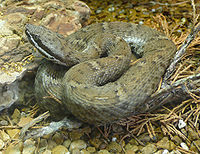 An Arizona Ridge-Nosed Rattlesnake somewhat coiled up facing right.