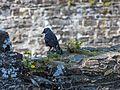 Crow (7827256040).jpg