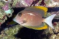Ctenochaetus tominiensis 3.JPG