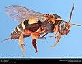 Cuckoo bee (Apidae, Nomadinae, Triepeolus quadrifasciatus (Say, 1823)) (35163698891).jpg