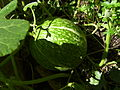 Cucurbita ficifolia Ficifolia verda77.jpg