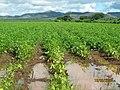 Cultivos de frijol - panoramio.jpg