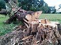 Cut tree.jpg