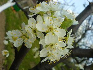 Damson - Damson flowers