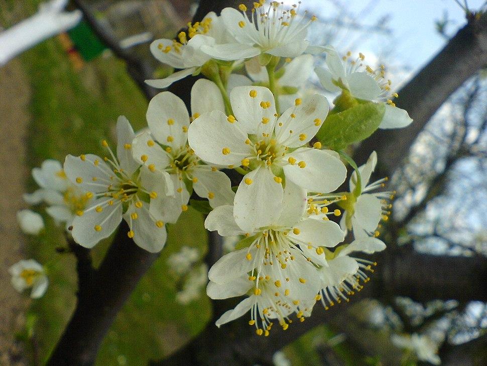 Cvet šljive 2