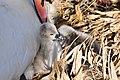 Cygnus olor (Küken) - Arboretum 2011-05-28 18-13-12.JPG