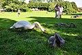 Cygnus olor - Arboretum 2010-09-03 17-06-44.JPG