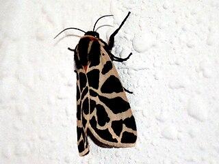 <i>Cymbalophora pudica</i> Species of moth