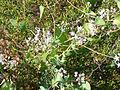 Cynanchum acutum Habitus 2011-7-15 LagunadelaMata.jpg