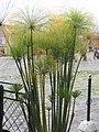 Cyperus papyrus 0zz.jpg