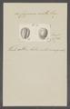Cypraea ovula - - Print - Iconographia Zoologica - Special Collections University of Amsterdam - UBAINV0274 088 02 0067.tif