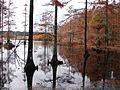 Cypress trees in Bluff Lake (6882771297).jpg