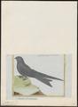 Cypselus niger - 1700-1880 - Print - Iconographia Zoologica - Special Collections University of Amsterdam - UBA01 IZ16700101.tif