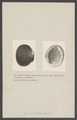 Cyrena - Print - Iconographia Zoologica - Special Collections University of Amsterdam - UBAINV0274 005 05 0077.tif